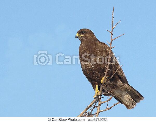 Common Buzzard, Buteo buteo - csp5789231