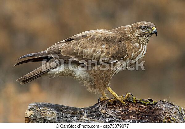 Common buzzard (Buteo buteo) - csp73079077