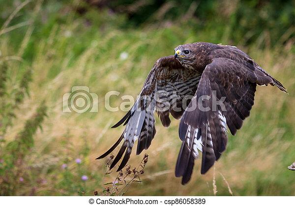 Common buzzard  (Buteo buteo) - csp86058389