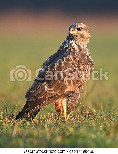 Common buzzard (Buteo buteo) - csp47498466