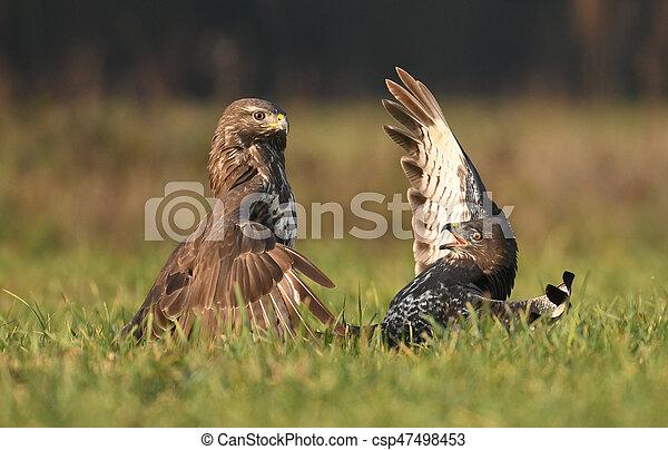 Common buzzard (Buteo buteo) - csp47498453