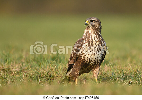 Common buzzard (Buteo buteo) - csp47498456