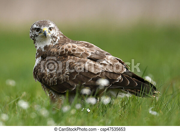 Common buzzard (Buteo buteo) - csp47535653