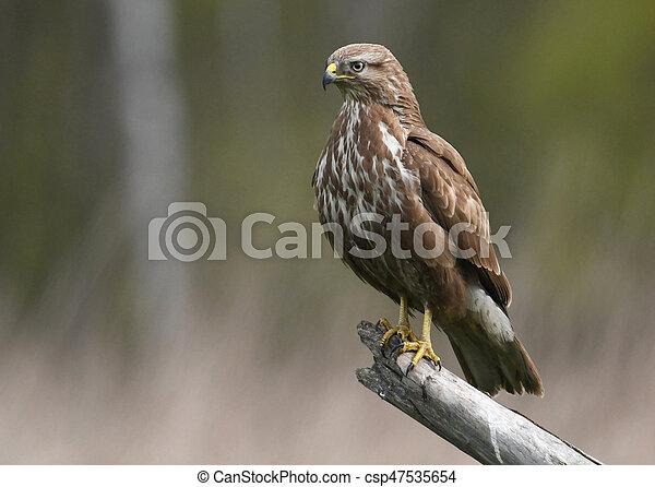 Common buzzard (Buteo buteo) - csp47535654