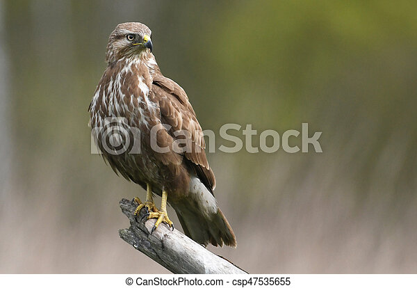 Common buzzard (Buteo buteo) - csp47535655