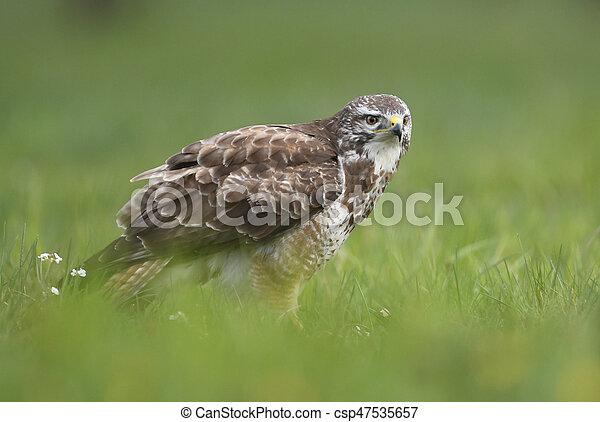 Common buzzard (Buteo buteo) - csp47535657