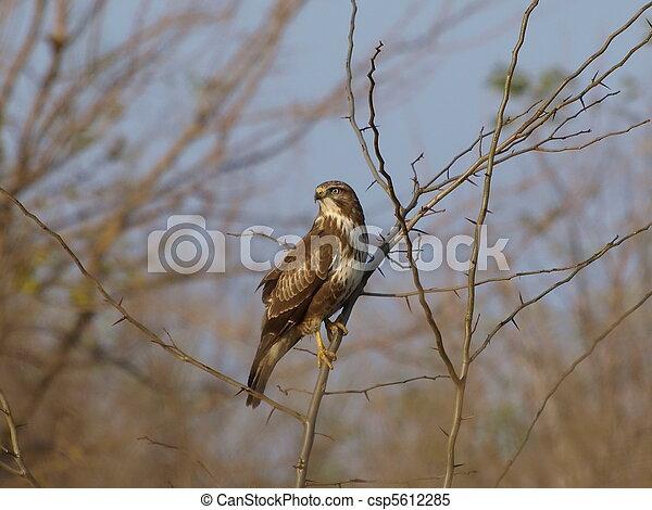 Common Buzzard, Buteo buteo - csp5612285