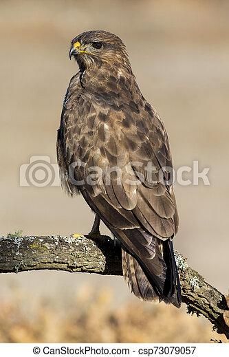 Common buzzard (Buteo buteo) - csp73079057