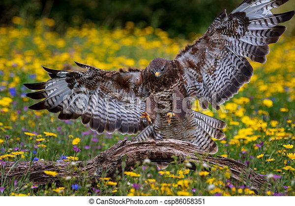 Common buzzard  (Buteo buteo) - csp86058351