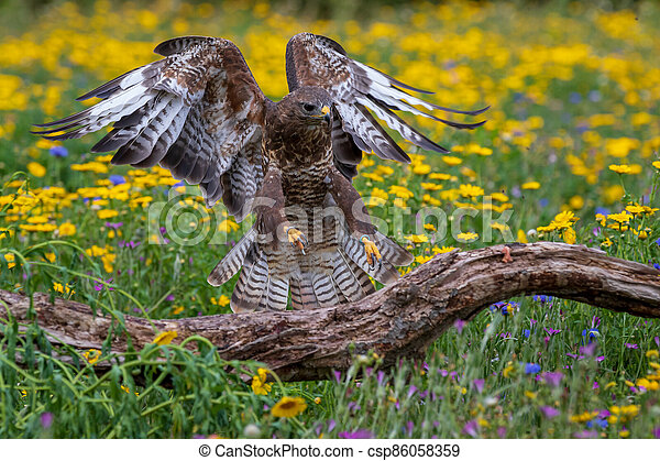 Common buzzard  (Buteo buteo) - csp86058359