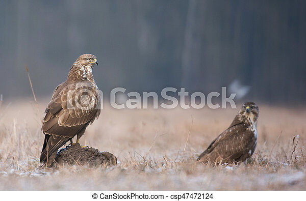 Common buzzard (Buteo buteo) - csp47472124