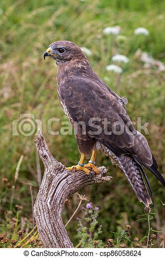 Common buzzard (Buteo buteo) - csp86058624