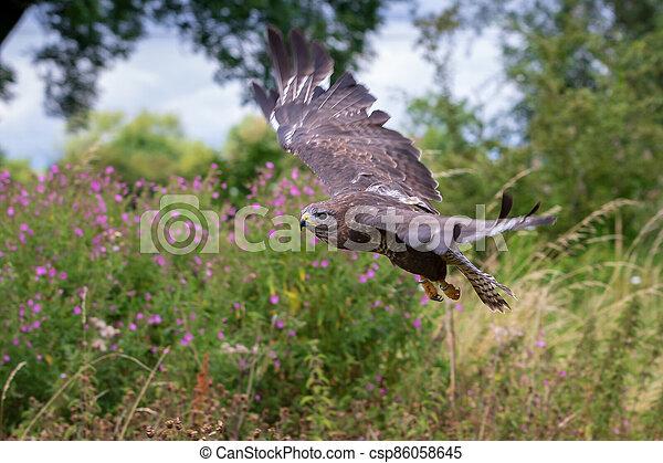 Common buzzard  (Buteo buteo) - csp86058645
