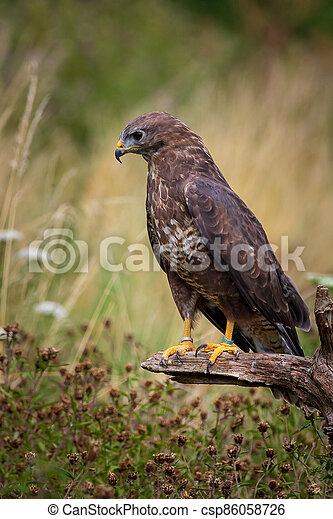 Common buzzard (Buteo buteo) - csp86058726
