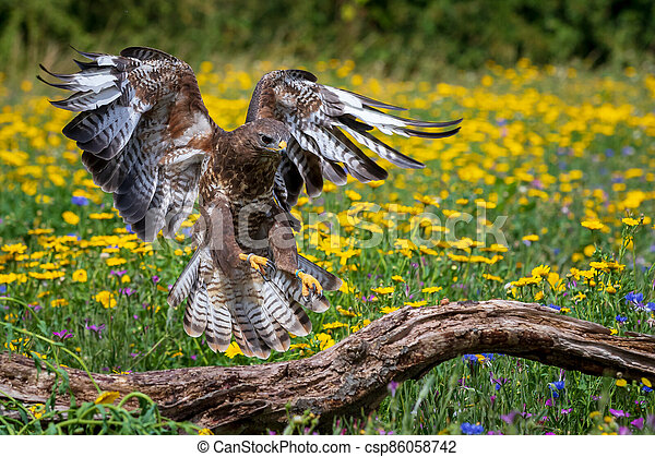 Common buzzard (Buteo buteo) - csp86058742