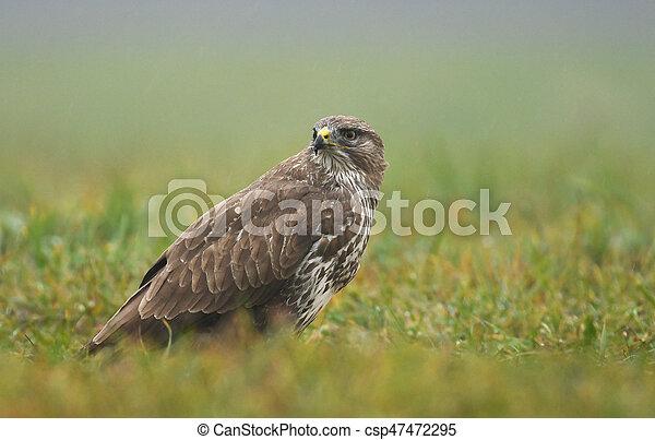 Common buzzard (Buteo buteo) - csp47472295
