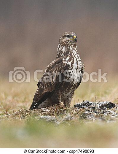 Common buzzard (Buteo buteo) - csp47498893
