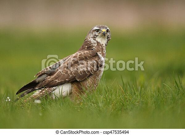 Common buzzard (Buteo buteo) - csp47535494