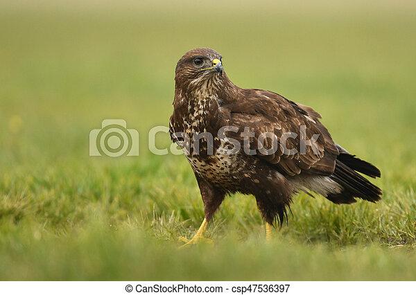 Common buzzard (Buteo buteo) - csp47536397