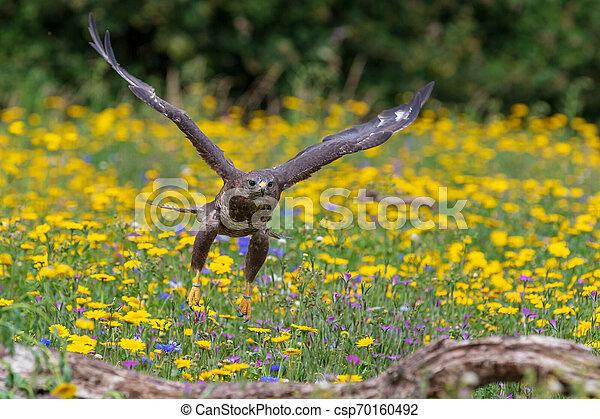 Common buzzard (Buteo buteo) - csp70160492