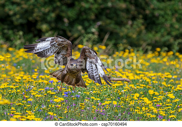 Common buzzard (Buteo buteo) - csp70160494