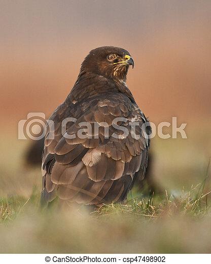Common buzzard (Buteo buteo) - csp47498902