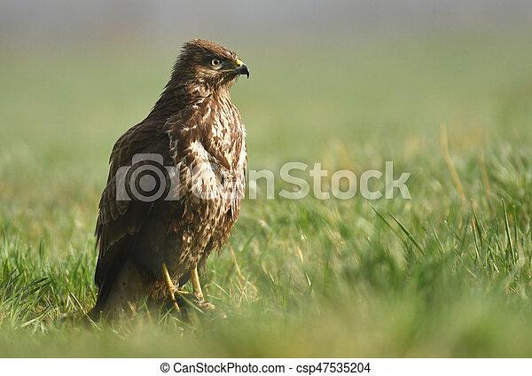 Common buzzard (Buteo buteo) - csp47535204