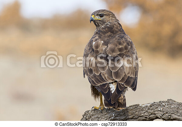 Common buzzard (Buteo buteo) - csp72913333