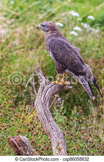 Common buzzard (Buteo buteo) - csp86058632