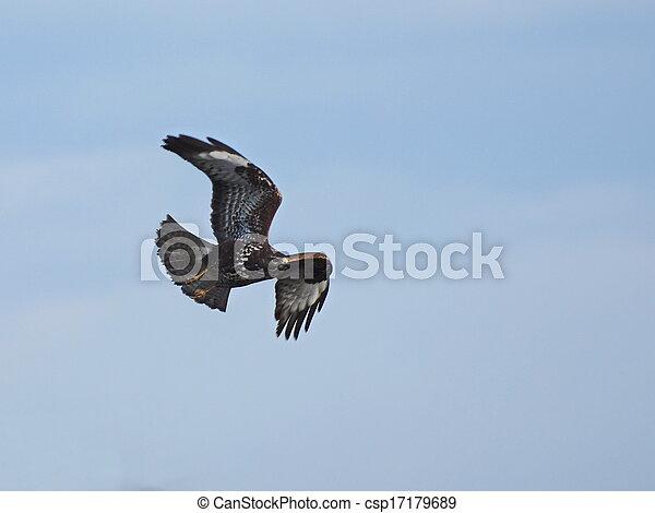 Common Buzzard in flight - csp17179689