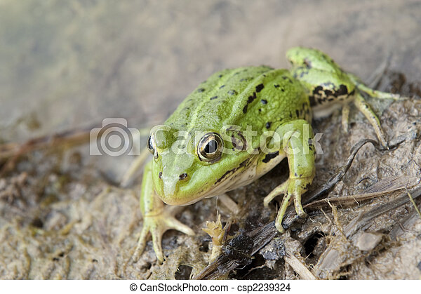 Common frog - csp2239324