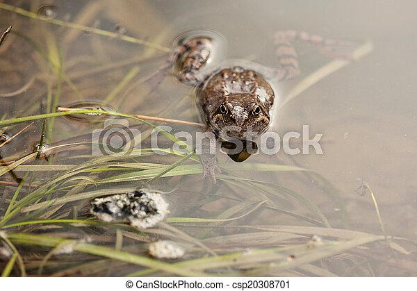 Common grass frog (Rana temporaria) - csp20308701