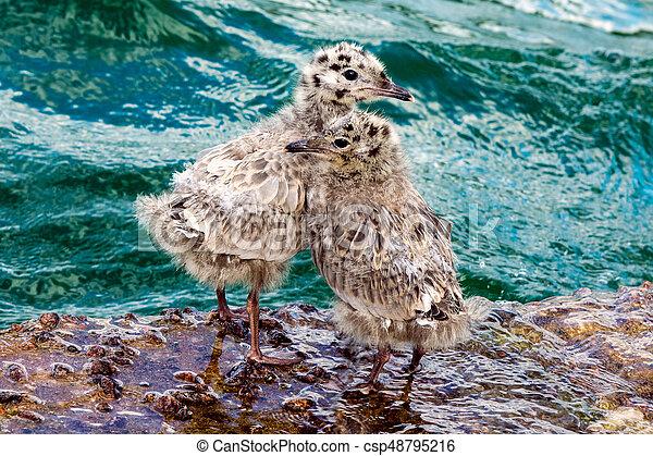 Common Gull chicks - csp48795216