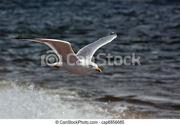 Common Gull (larus canus) - csp6856685