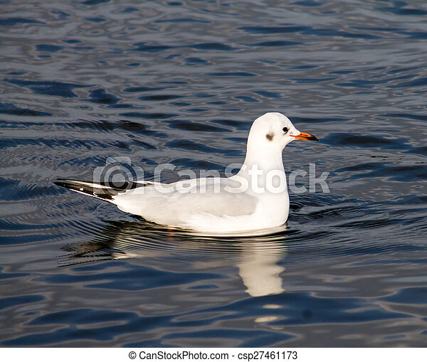 Common Gull - csp27461173