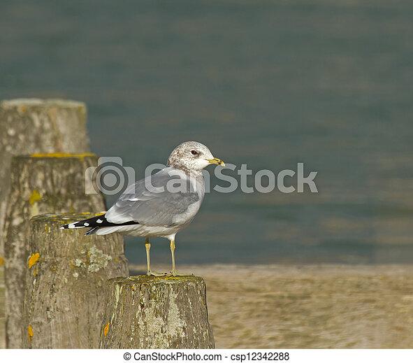 Common Gull - csp12342288