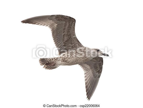 Common gull - csp22006064