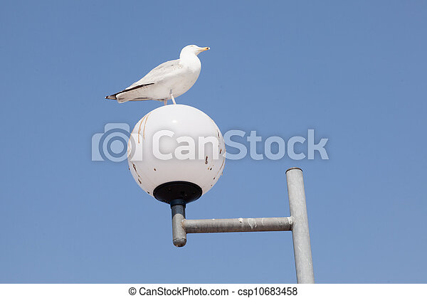 Common Gull - csp10683458