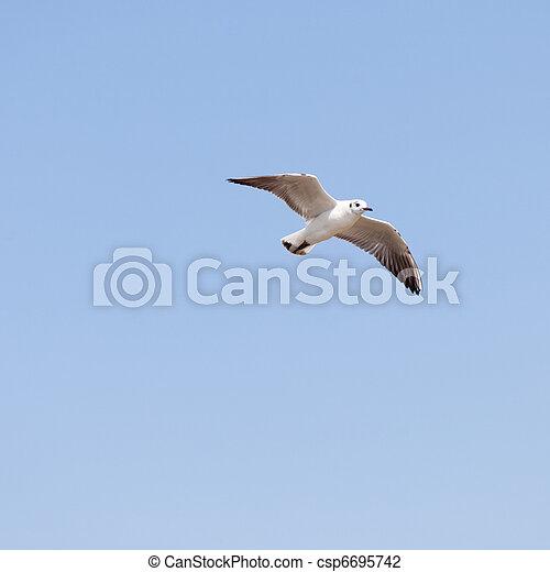 Common Gull - csp6695742
