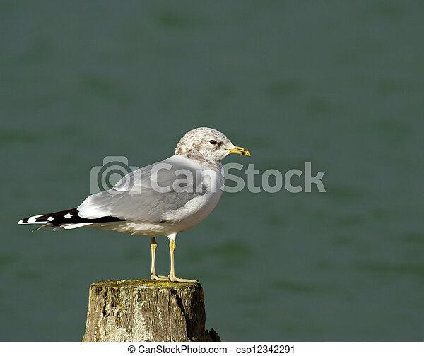 Common Gull - csp12342291