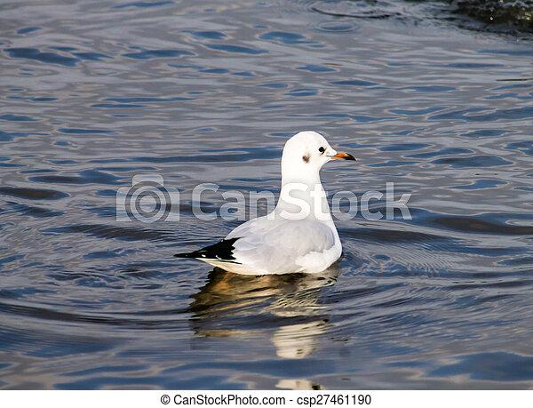 Common Gull - csp27461190