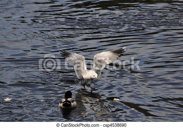 Common Gull - csp4538690