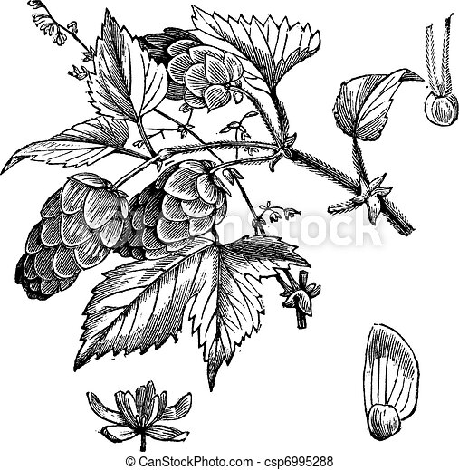 Common hop or Humulus lupulus vintage engraving - csp6995288