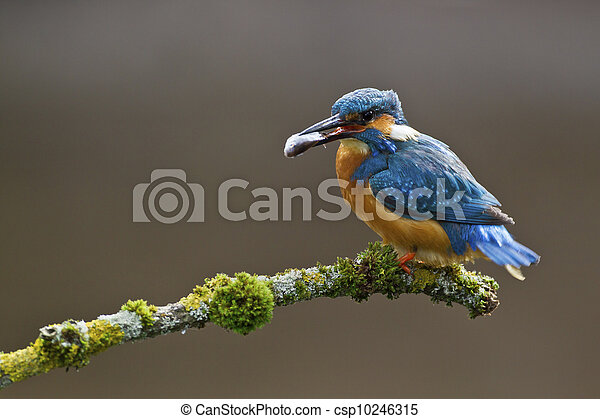 Common Kingfisher Alcedo atthis adult male - csp10246315