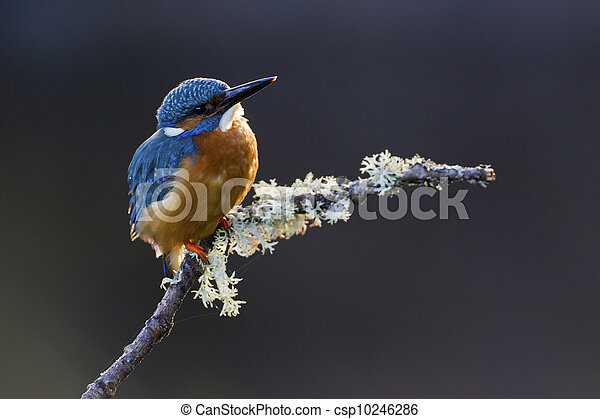Common Kingfisher Alcedo atthis adult male - csp10246286