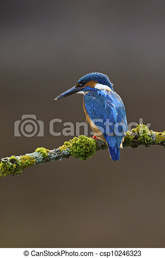 Common Kingfisher Alcedo atthis adult male - csp10246323