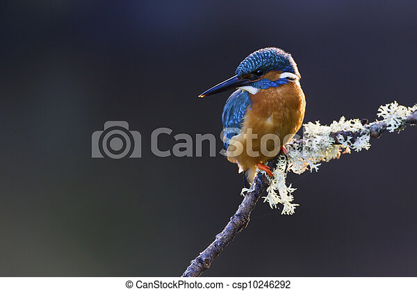 Common Kingfisher Alcedo atthis adult male - csp10246292