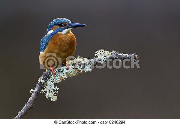 Common Kingfisher Alcedo atthis adult male - csp10246294