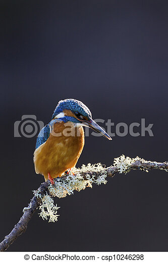 Common Kingfisher Alcedo atthis adult male - csp10246298