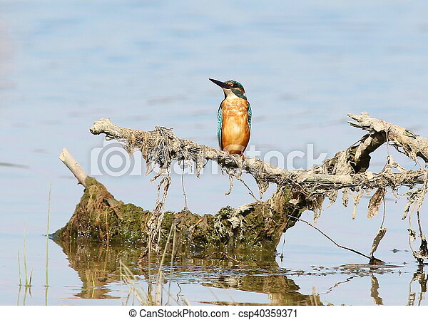 Common Kingfisher, alcedo atthis - csp40359371